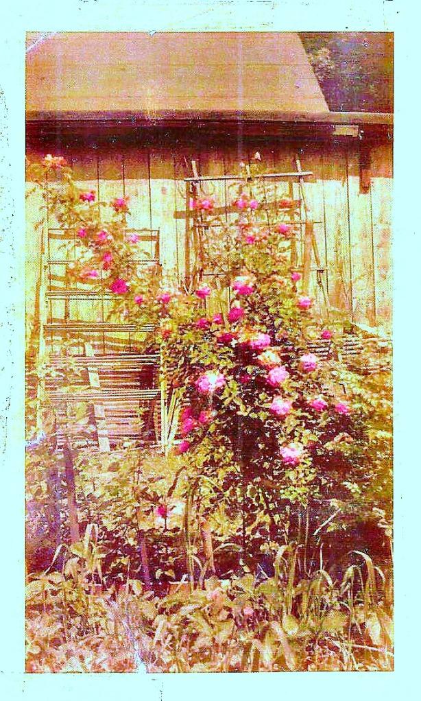 Grandmas Rose bush 1940s