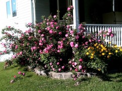Grandmas Rose bush now.4jpg