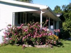 Grandmas Rose bush now.5jpg