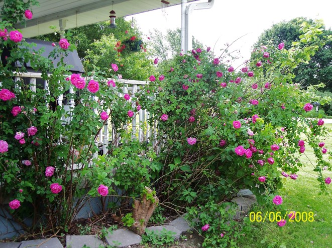 Grandmas Rose bush now.8 Coriopsisjpg