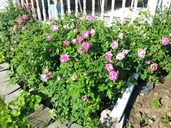 Grandmas Rose bush now