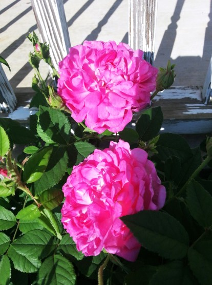Grandmas Rose bush now2