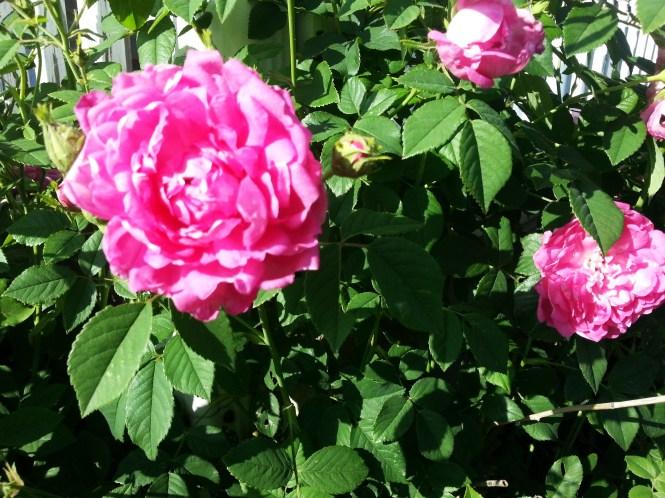 Grandmas Rose bush now3