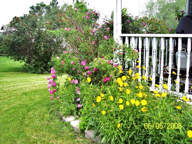 Grandmas Rose bush now6.jpg