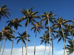 palm trees 2 - Copy