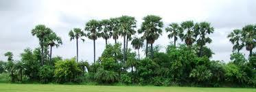 palm trees - Copy