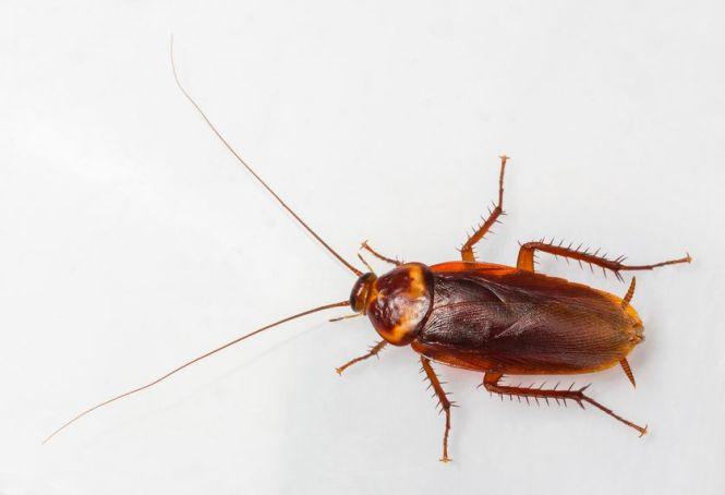 Palmetto_Bug